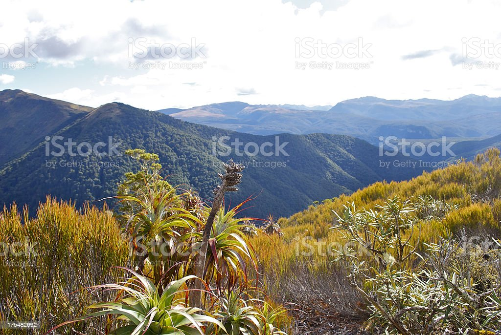 Mountain Neinei (Dracophyllum traversii), The Kahurangi National Park stock photo