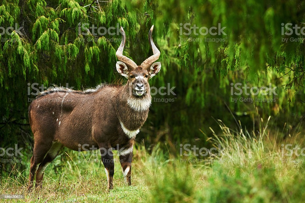 Mountain Nyala stock photo