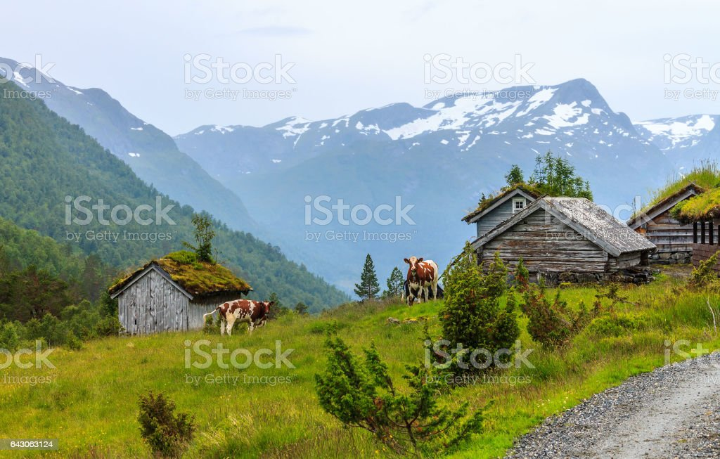 Mountain pasture with cows in Norway stock photo