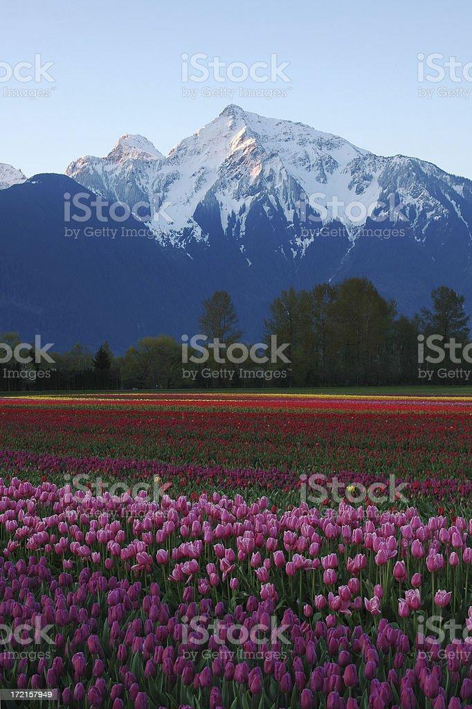 Mountain Peak with Tulip Field stock photo