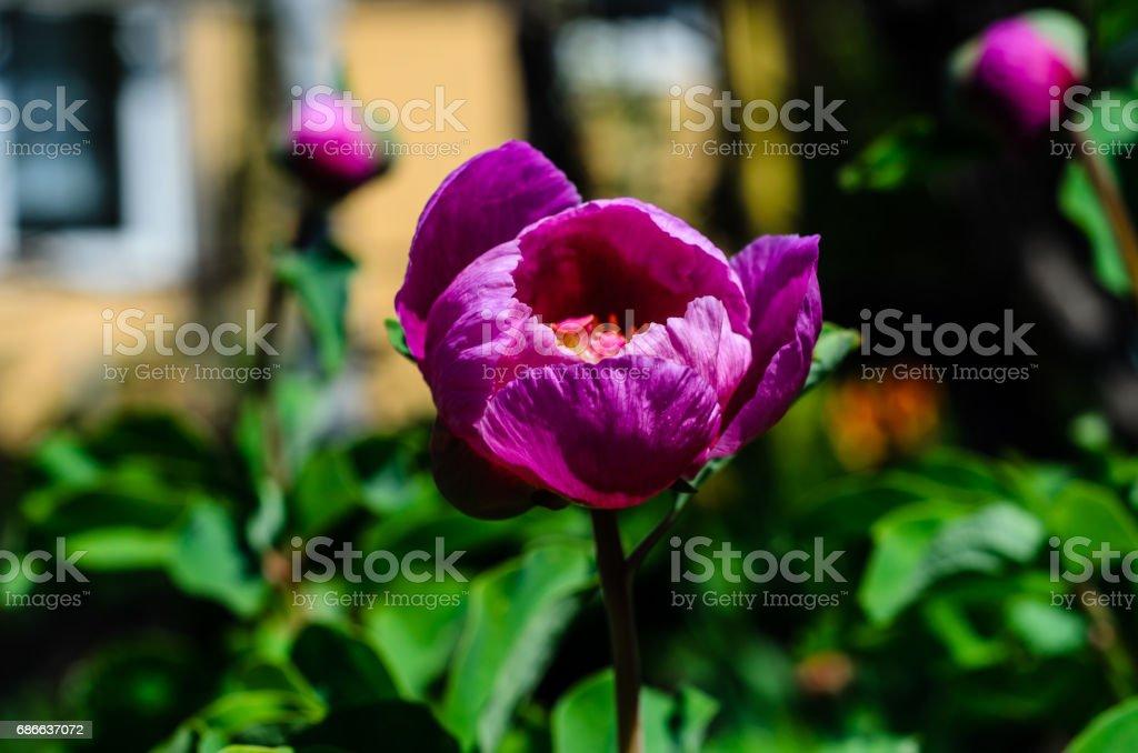 Mountain peony on spring royalty-free stock photo