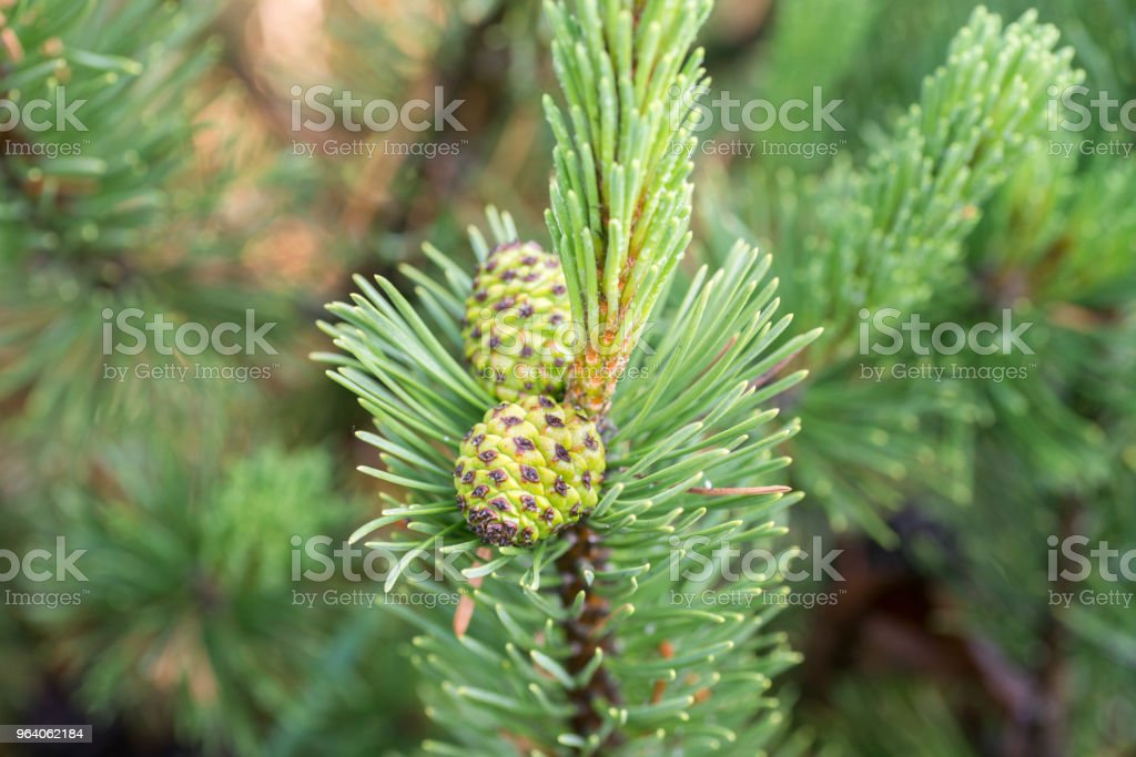 mountain pine cones on twig - Royalty-free Backgrounds Stock Photo
