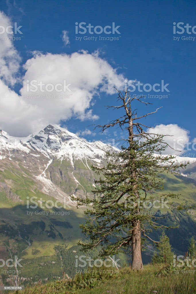 Mountain pine in the Hohe Tauern stock photo
