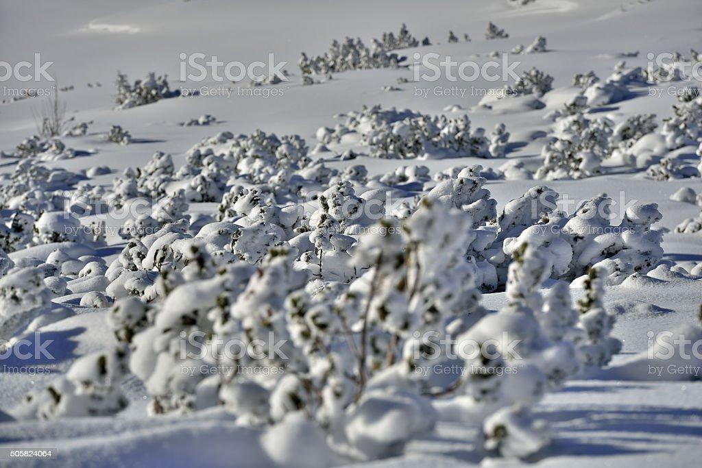 Mountain pine in Upper Austria stock photo