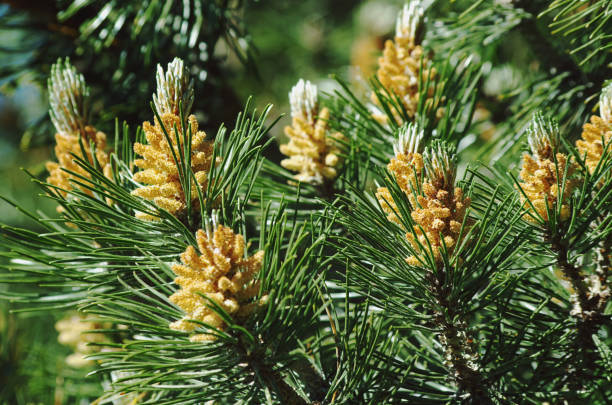 berg grenen (pinus mugo) - siberië stockfoto's en -beelden