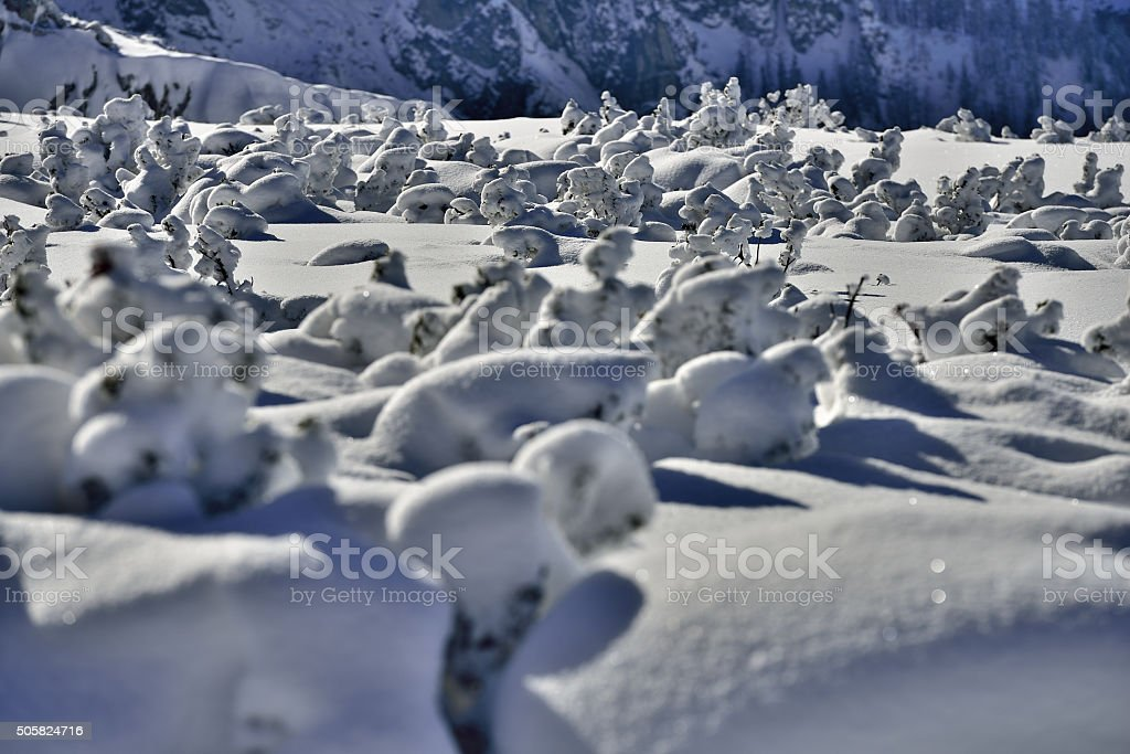 Mountain pines covered with powder snow stock photo