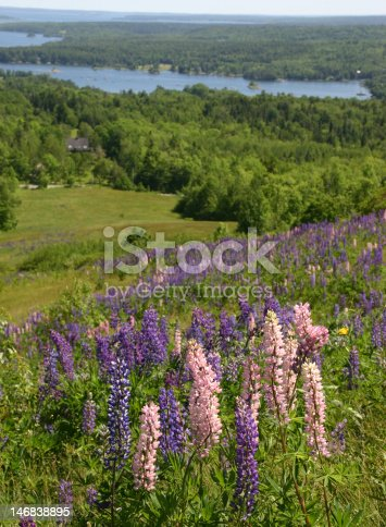 Blue and pink lupine grows on a hill high above the Maine coast.