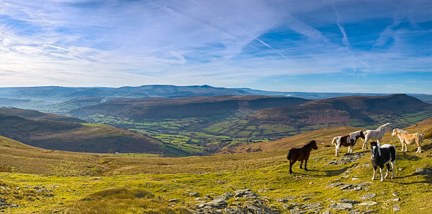 Mountain ponies, green valleys, blue horizon  brecon beacons stock pictures, royalty-free photos & images