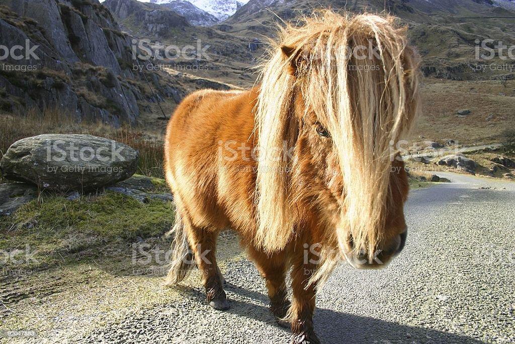 mountain pony protecting its territory royalty-free stock photo