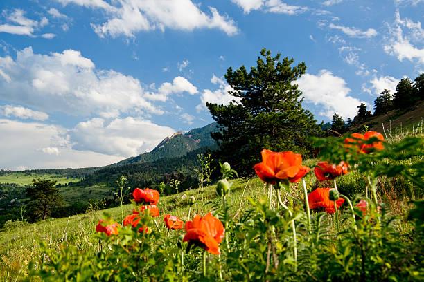 Mountain Poppies stock photo