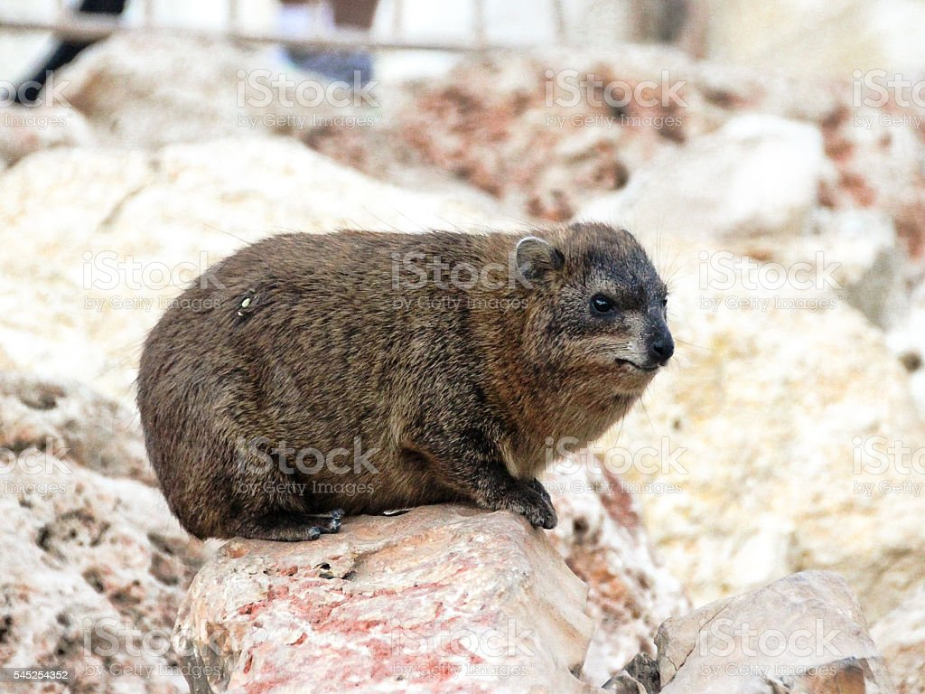 mountain rabbit sitting on a rock stock photo