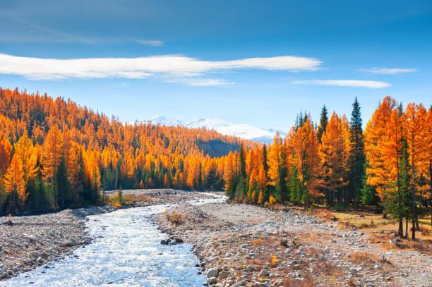berg rivier en herfst bos in altaj, siberië, rusland - altai nature reserve stockfoto's en -beelden