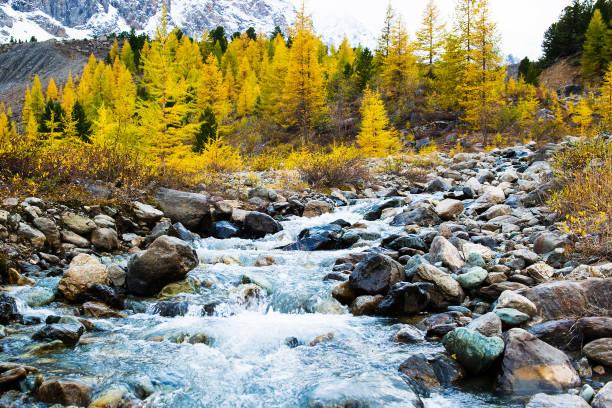 een bergrivier stroomt door het bos. prachtig natuurlijk landschap in de herfst. lariksbomen op de bank en grote stenen. tegen de achtergrond van de bergen altai die met sneeuw worden behandeld. - altai nature reserve stockfoto's en -beelden