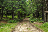 Road through pine forest. Travel In The Forest Road With Tall Trees