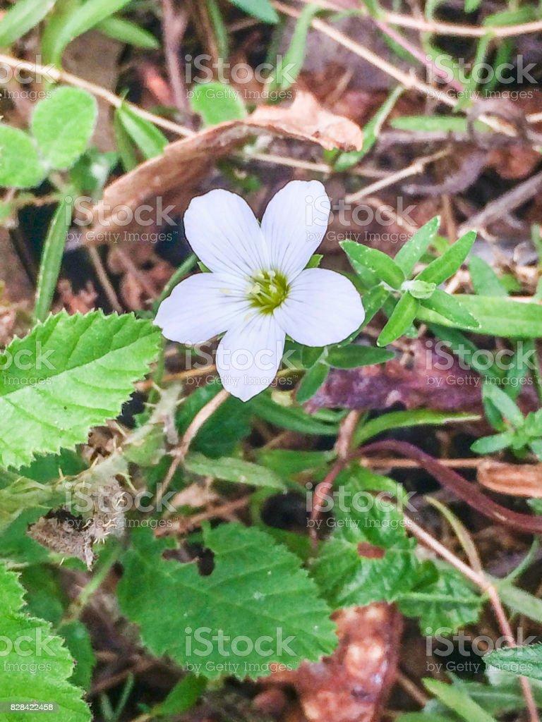 Mountain sandwort royalty-free stock photo