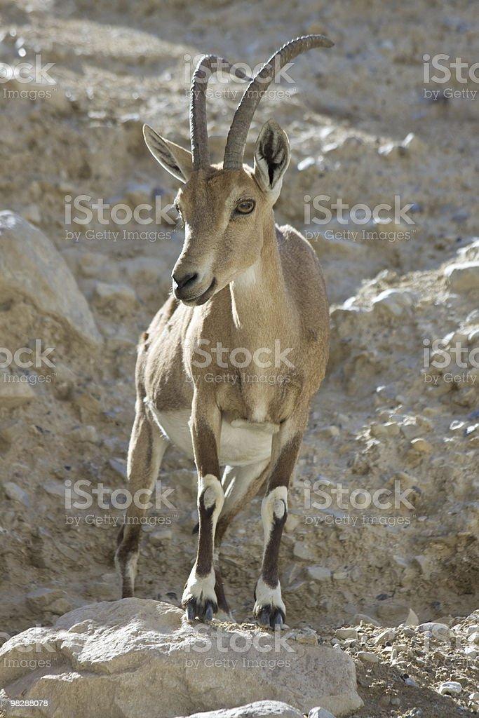 Mountain sawhorse. royalty-free stock photo
