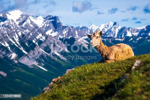 A mountain sheep located in the Canadian Rockies and being kept warm by the sun, Banff National Park, Alberta, Canada.  Backgroup of the Canadian Rockies.