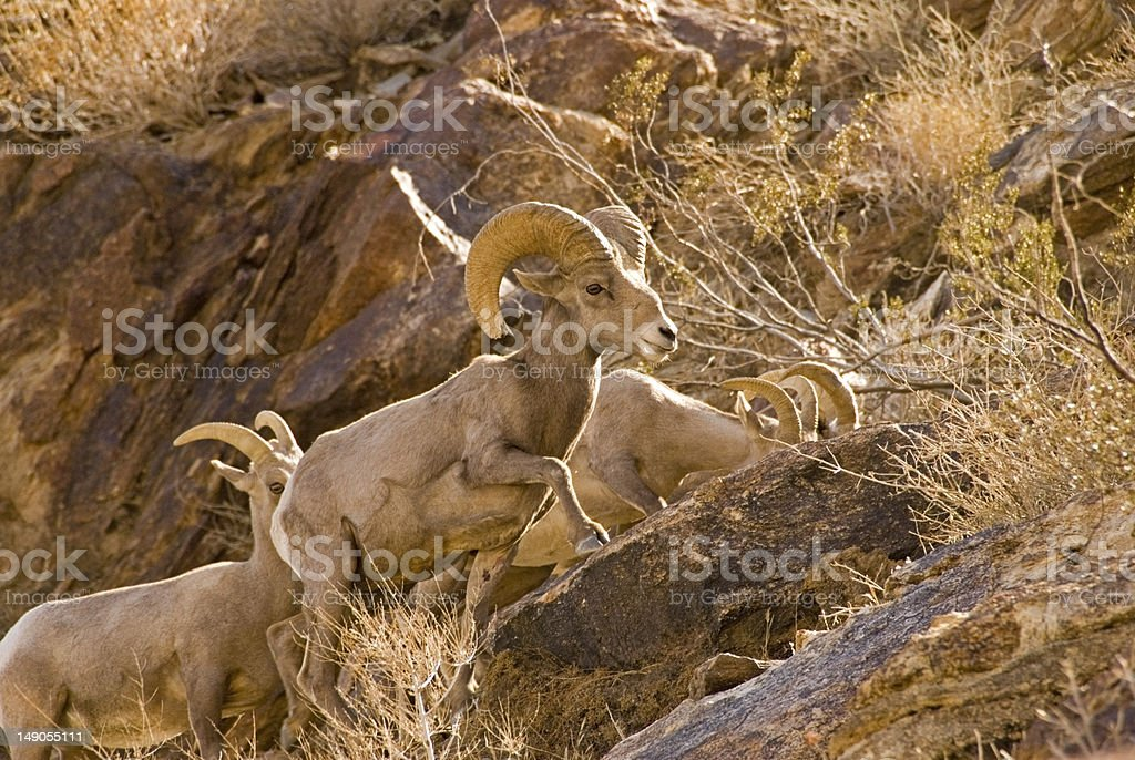 Mountain sheep in desert stock photo