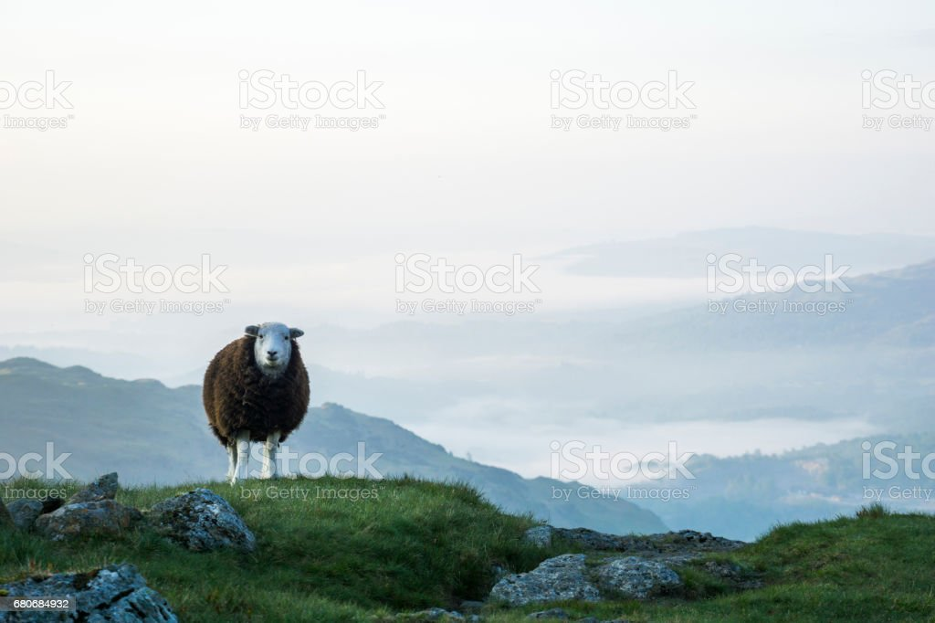Mountain Sheep in the Lake District National Park, Cumbria, UK stock photo