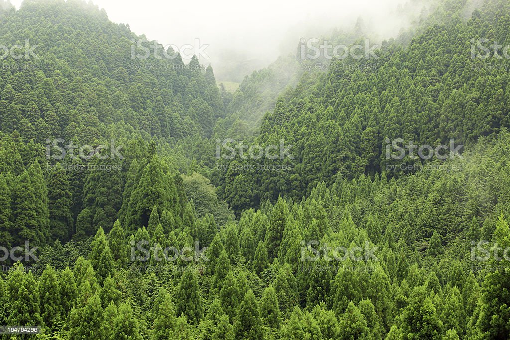 Mountain spruce forest over the hill fith fog behind stock photo