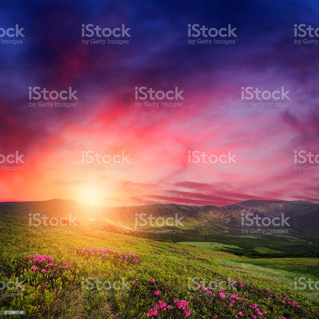 Mountain sunset with rhododendron flowers in grass stock photo