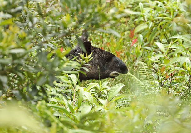 Mountain Tapir stock photo