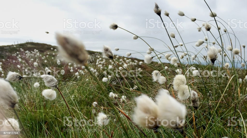 Mountain Top Bog Cotton stock photo