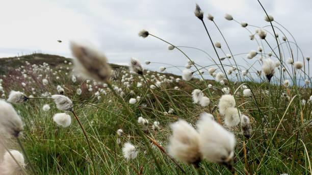 Mountain Top Bog Cotton stock photo