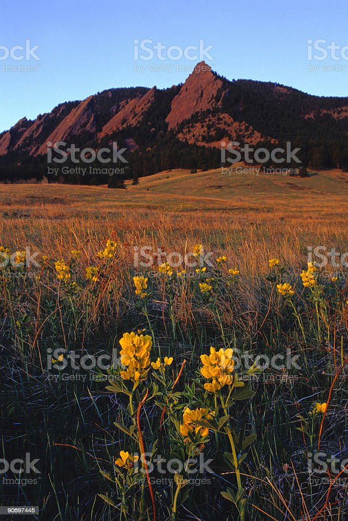 mountain wildflower sunrise meadow royalty-free stock photo