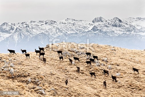 A group of wild chamois (rupicabra rupicabra) with snowy mountains in the background.