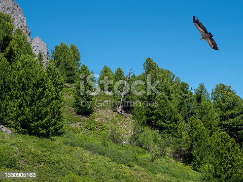 istock Mountain wooded slope and a bird of prey above the trees. 1330905163
