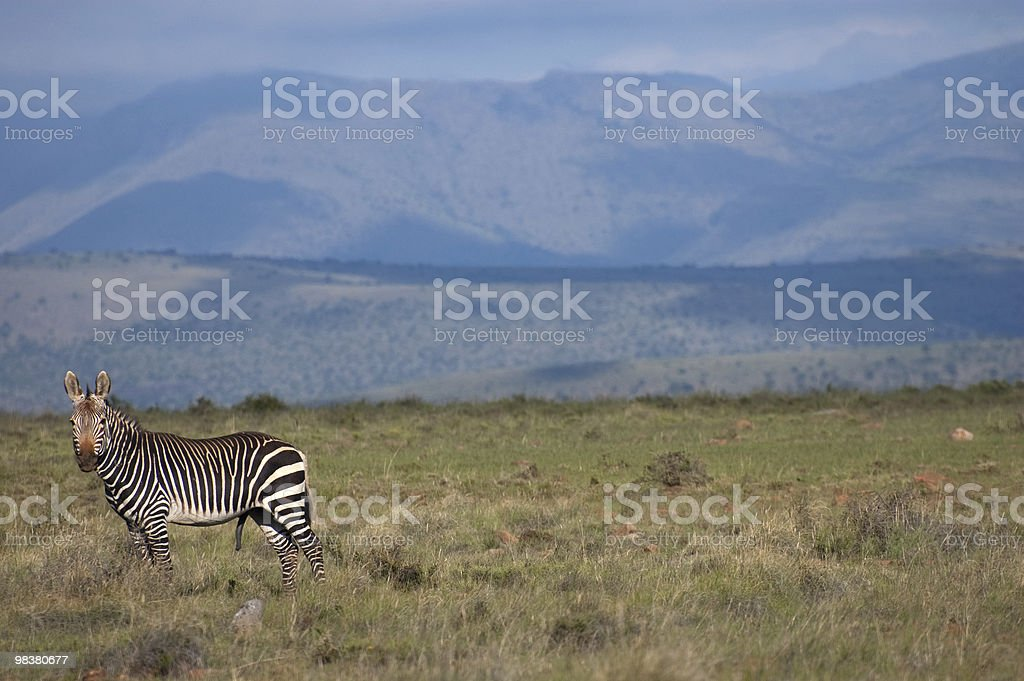 Mountain Zebra di pianura foto stock royalty-free