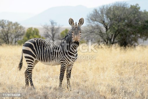 Mountain Zebra (Equus zebra) standing in grassland, Mountain Zebra National Park, South Africa