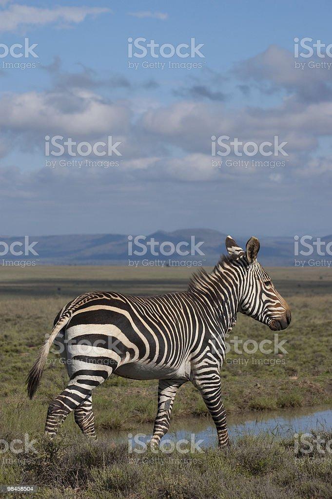 Mountain Zebra royalty-free stock photo