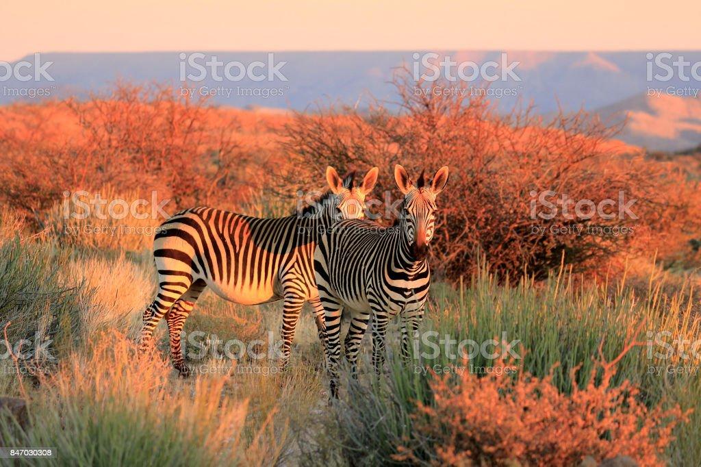 Mountain Zebra succulent karoo Augrabies plants sunset safari nature wildlife stock photo