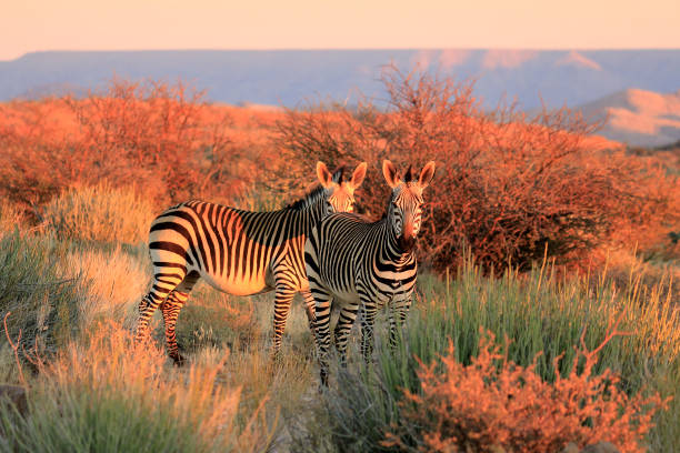 Mountain Zebra succulent karoo Augrabies plants sunset safari nature wildlife Mountain Zebra succulent karoo Augrabies plants sunset safari nature wildlife kruger national park stock pictures, royalty-free photos & images