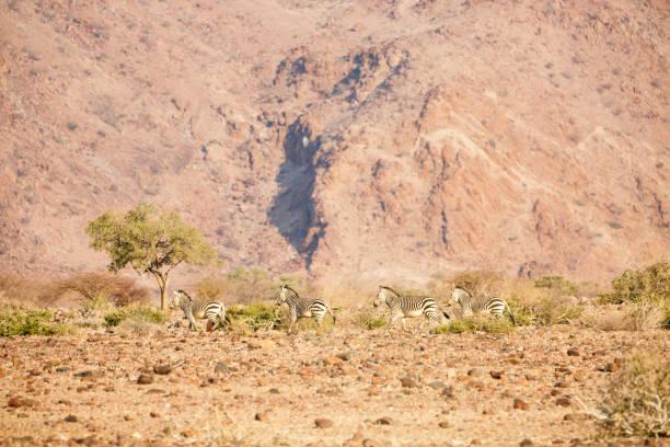 Bergzebras in der Namib Wüste – Foto
