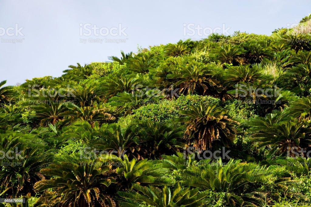 Mountains of Cycas revoluta stock photo