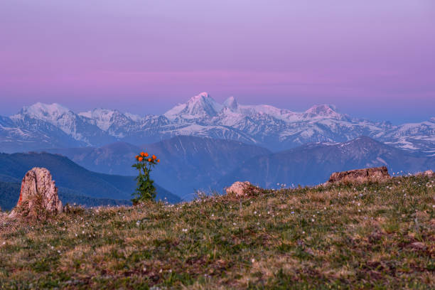 mountains snow flowers sunrise pink - altai nature reserve стоковые фото и изображения