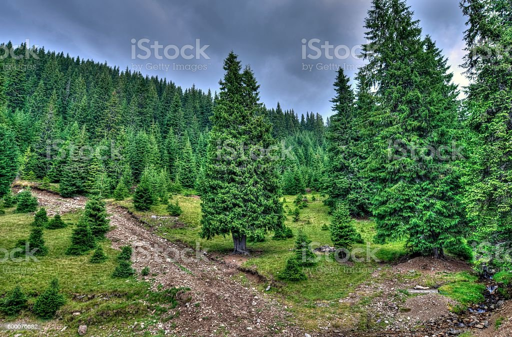 Mountainside Evergreen Forest  - HDR Image stock photo