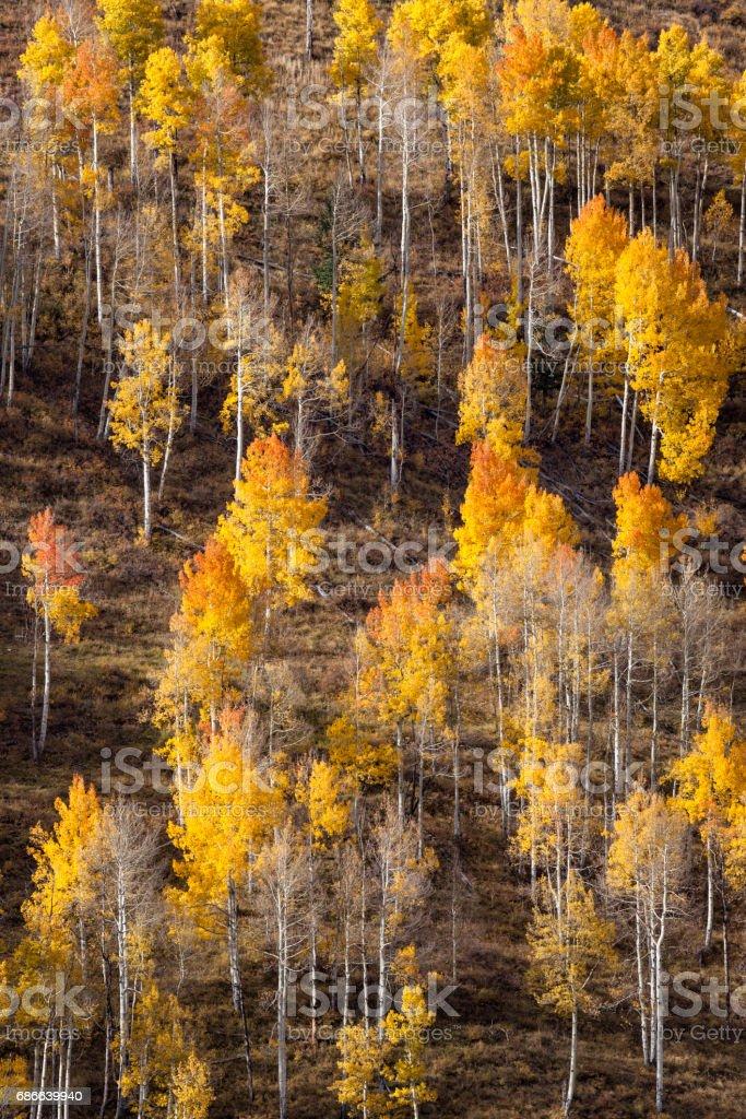 Mountainside Pattern Of Autumn Aspen Trees royalty-free stock photo
