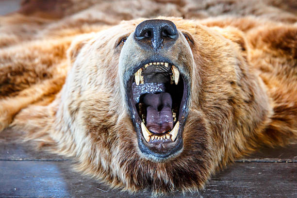 Mounted Bear with Open Mouth stock photo