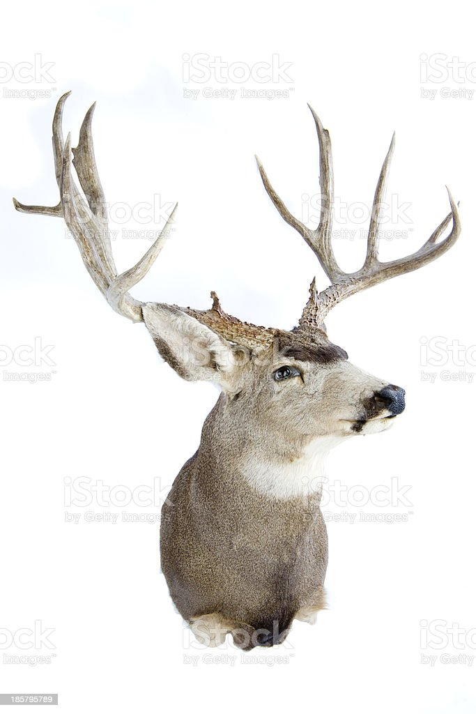 Mounted buck royalty-free stock photo