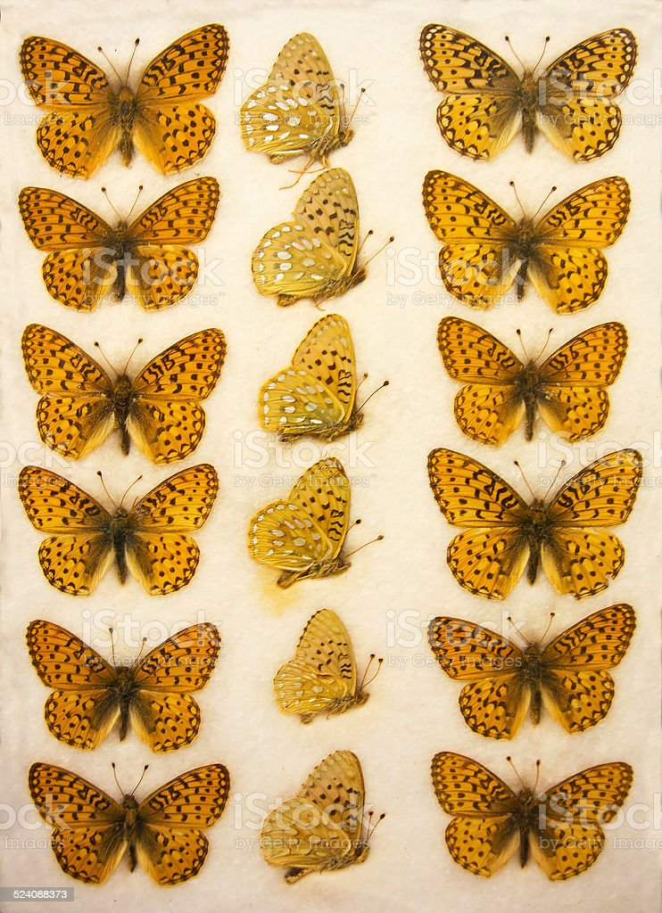 mounted tray of callippe fritillary butterflies, Speyeria callippe royalty-free stock photo