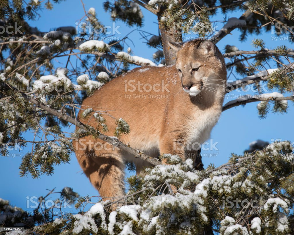 Mountian Lion up a tree stock photo