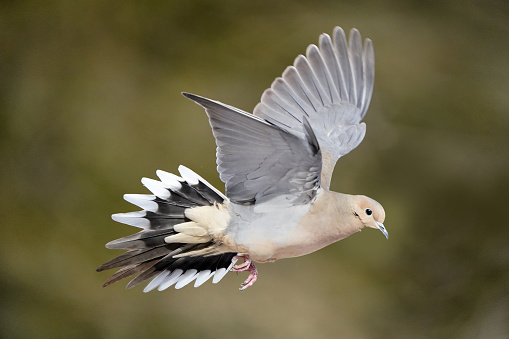 Mouring Dove flying