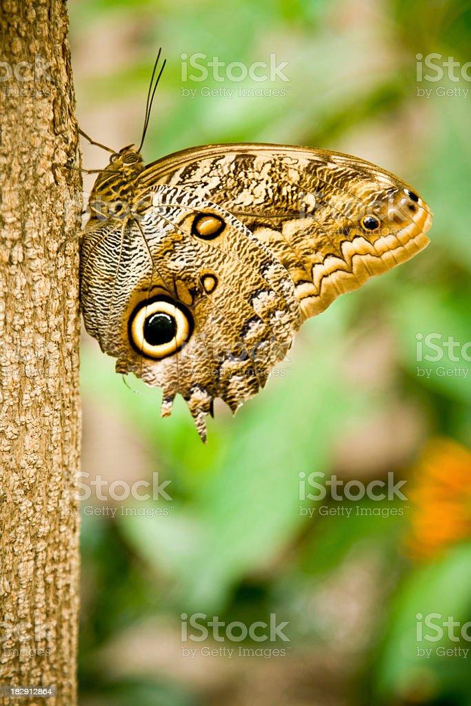 Mournful Owl Butterfly (Caligo Eurilochus) royalty-free stock photo