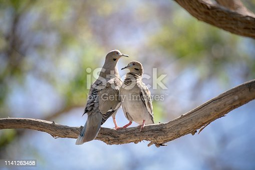 Mourning dove bird couple focus is on the female