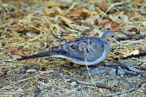 Mourning dove observed at Los Angeles