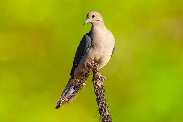 Mourning Dove on a Cactus stock photo